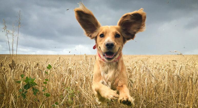5 Conselhos Para Prevenir Otites Nos Cães